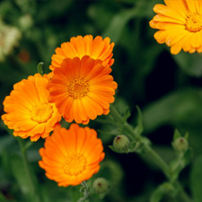 Calendula - V Steam Herb