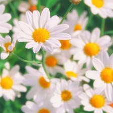 Chamomile Flowers - V Steam Herb