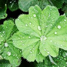 Ladys mantle leaf - V Steam Herb