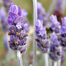Lavender V Steam Herb