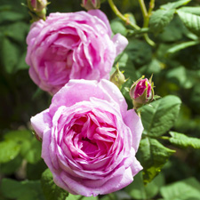 Rose - V Steam Herb